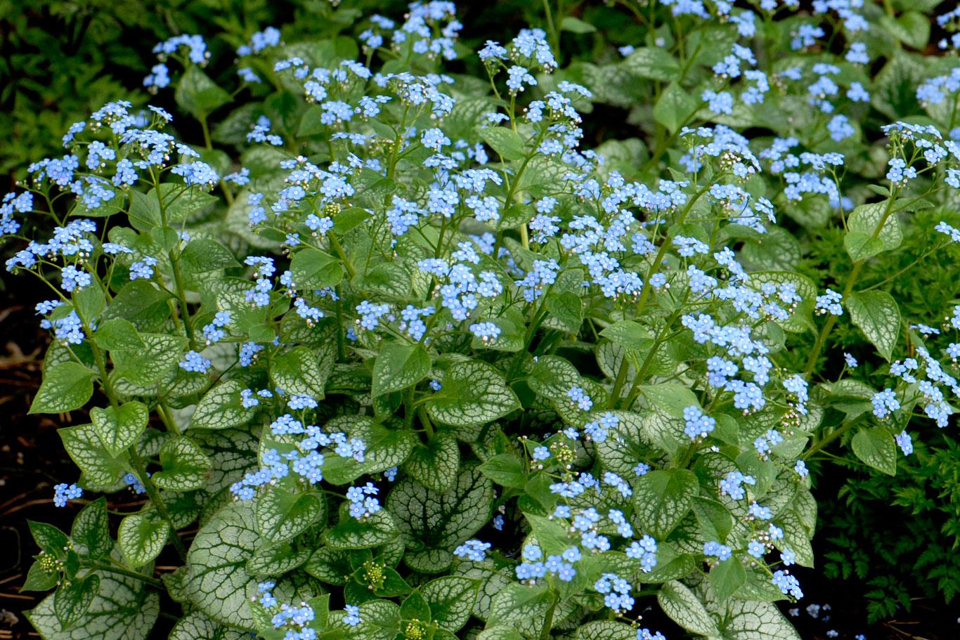 ХОСТА растение Уход сорта размножение Фото Хоста в саду